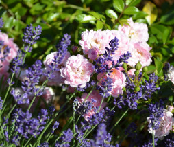 lavender-and-roses-2410000_1280