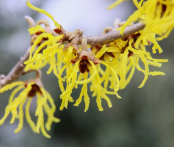witch-hazel-3123467_1280