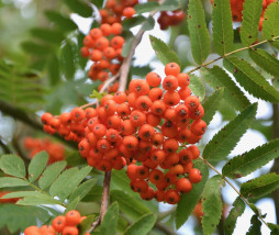 plants-with-berries-decorative-2524031_1280